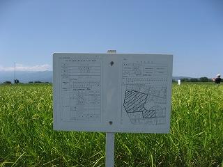 くぼの特別栽培米の田んぼ