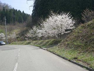 神代の桜1