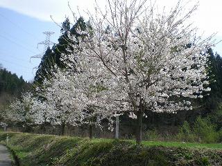 神代の桜2