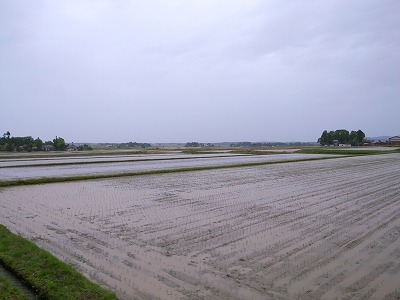 三和区窪の田植え後の田んぼ