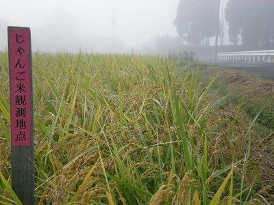 じゃんご米収穫