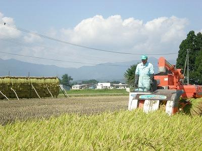 自然乾燥米の稲刈り