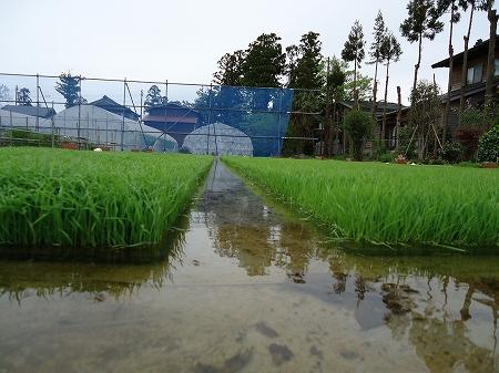 三和コシヒカリの稲